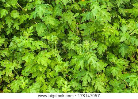 Lobed Shaped Of Dendranthema Or Chrysanthemum Morifolium Ramat. Leaves Background