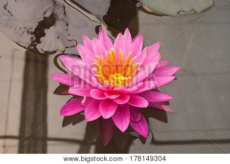 Closeup To Bright Water Lily/ Nymphaea Lotus/ Nymphaeaceae