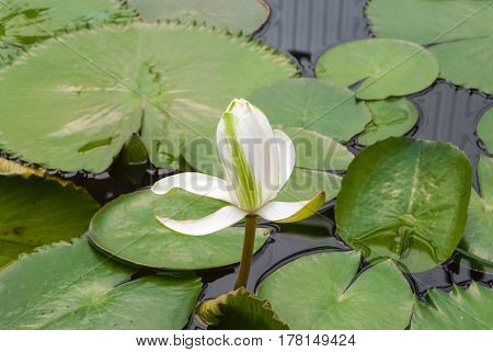 Closeup To Water Lily/ Nymphaea Lotus/ Nymphaeaceae