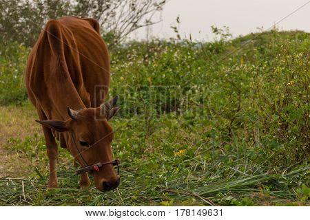Beautiful Brown Cow Grazing On Wild Grass