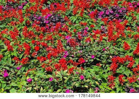Salvia Splendens And Pink Petunia Flowers Garden