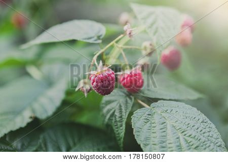 Raspberries on a bush. Closeup of fresh organic berries with green leaves on raspberry cane. Summer garden in village. Growing harvest at farm