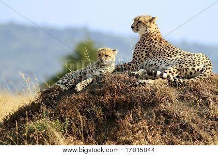 Masai Mara Geparden