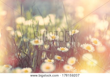 Blossomed meadow - flowering daisy flower in spring