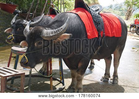 Buffalo with huge thick horns with a saddle on a red body cloth