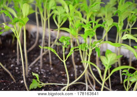 Small saplings of tomatoes - growing in greenhouse conditions