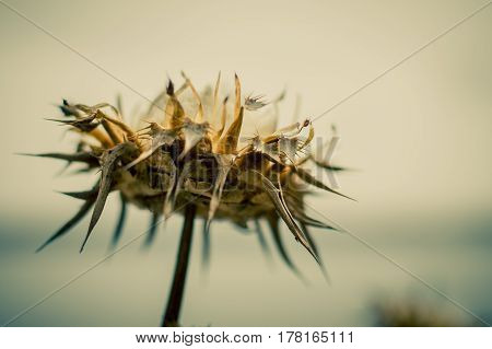 withered inflorescence of thistles on blurred background