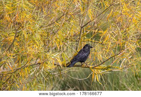 Black raven sits on a branch of a bush. Autumn. Yellowed leaves.