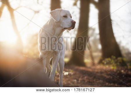 white labrador retriever dog in forest while sunset