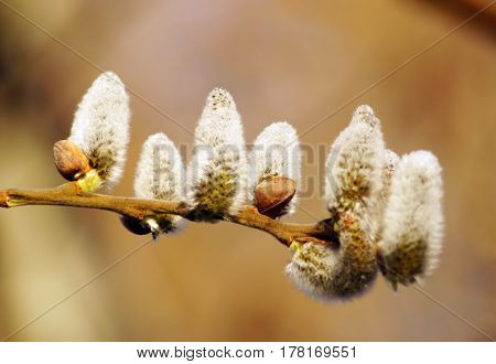 Twig with fluffy willow buds. Spring weather. Early spring. Willow pussy.