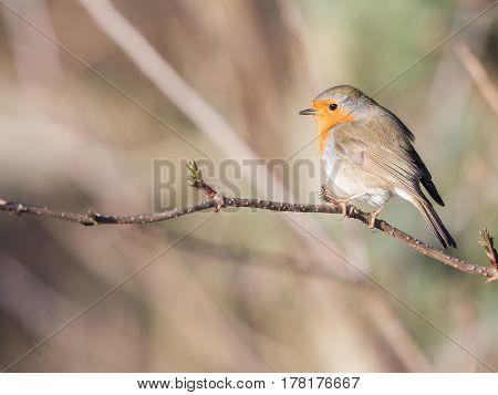 Bird in spring - European robin (Erithacus rubecula).