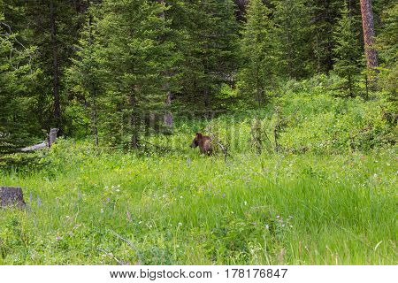 Grizzly bear foraging in forest clearing of lush green grass