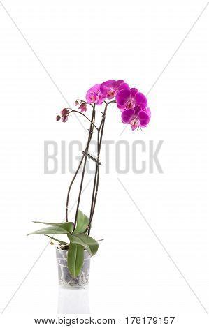 Orchid  Pink  Flower In Flowerpot