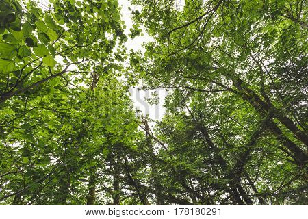 Forest canopy in a lush area in the Columbia River Gorge Oregon USA.