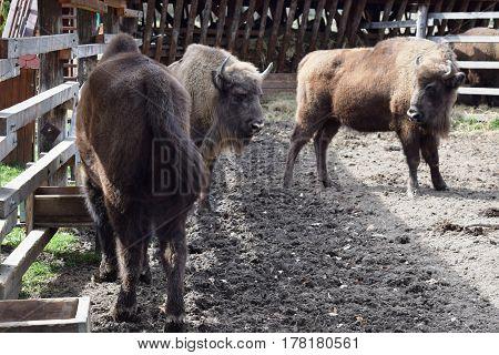 European brown bison  (Bison bonasus)  that live in nature reserves in Europe