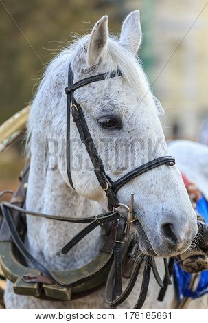 Grey horse in old harness waits rider