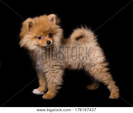 Pomeranian (spitz) dog, isolated on black background.