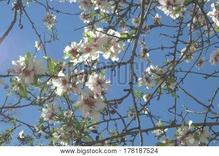 Cerezo japonés en flor recortando el cielo