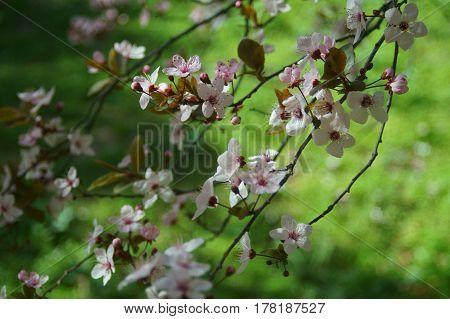 Primavera. Cerezos japoneses en flor y verde