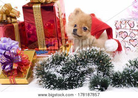 spitz-dog in New Year attire of Santa Claus