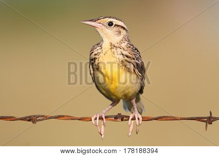 Western Meadowlark (sturnella neglecta) sitting on barbed wire