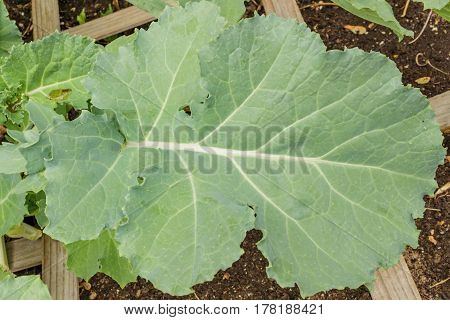 A large healthy kale leaf growing organically in a raised bed garden.