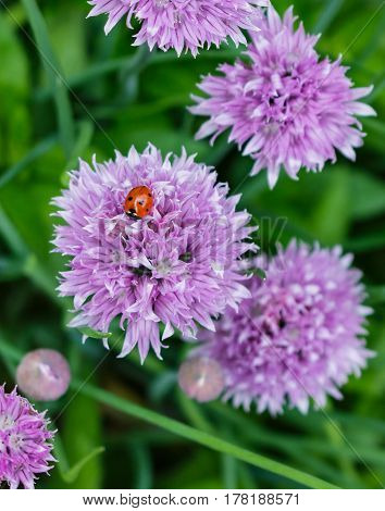 A ladybug on a lavender onion chive flower.