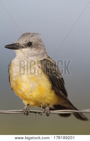 Western Kingbird (Tyrannus verticalis) sitting on a barbed wire fence