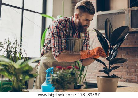 Young Professional In Apron And Gloves Carefuly Cleaning  Plant From Dust