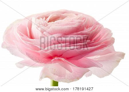 Fresh ranunkulus flower with waterdrops isolated on white background