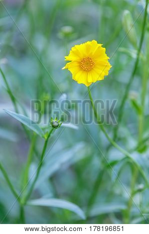 Lonely coreopsis flower (Coreopsis) blossomed in the garden