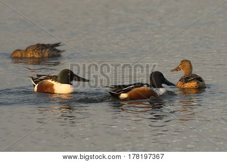 Northern Shoveler (Anas clypeata) two couples swimming in water of a Lake