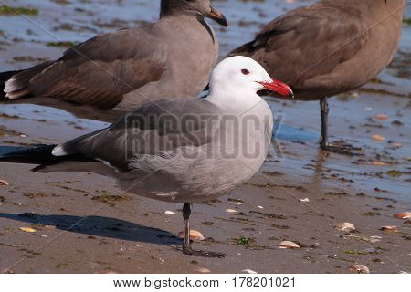 A Heermann's Gull, Larus heermanni on a beach on the Sea of Cortez in Mexico during winter