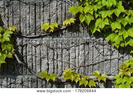 Vine growing on wall just as spring starts