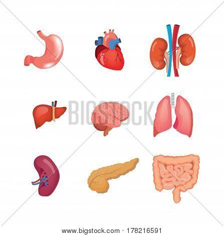 Human organs anatomy: heart, liver, brain, kidneys, lungs, stomach spleen pancreas intestine Vector illustration isolated in cartoon style