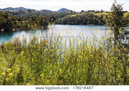 Spring wildflowers blooming at Lake Jennings in Lakeside, California, a popular destination for boating and fishing.