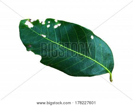 green leaf eat by worm on a white background.
