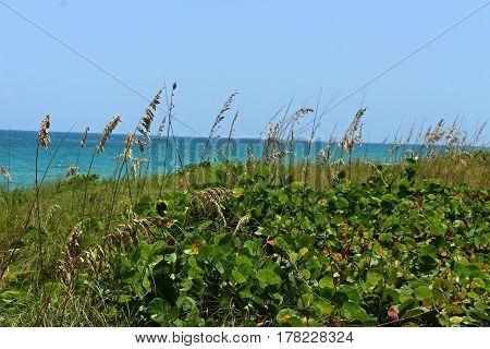 Sea grape plant, and sea oats on the beach.