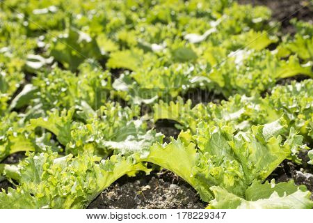 Close up young bright green lettuce leaves growing on soil