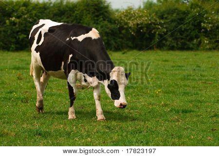 Young Friesian cow enjoying the summer meadow