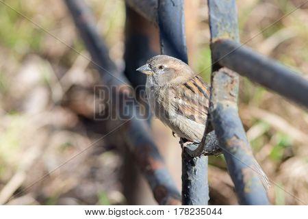 Portrait of a sparrow on a metal fence closeup