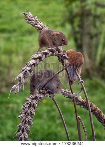 A group of three wild harvest mice feeding on ears of corn set in a natural background and in upright vertical format