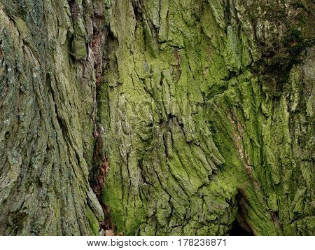 old oak tree with green moss at the base closeup