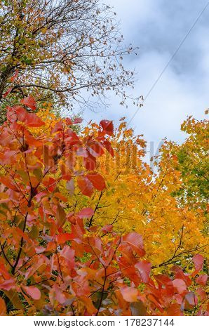 Branch with autumn leaves of maple and basswood red and orange colors against the blue sky in the Park