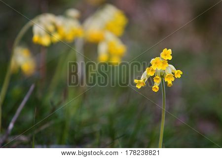 First cowslip growing from snow. Close-up yellow spring flowers. Primula Veris. Awakening nature.
