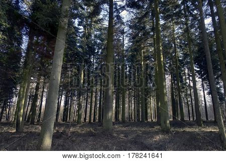 Old Danish pine forest landscape with trees all over.
