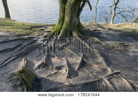 Roots and old tree close to the sea in a Danish forest.