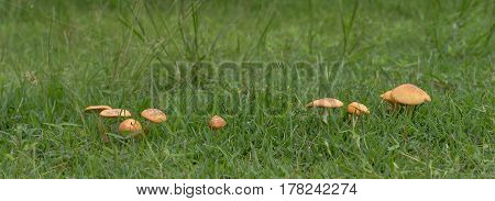 Live mushrooms growing in green grass panorama view