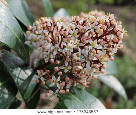 The pretty white flowers of of Skimmia japonica also known as Japanese skimmia, a spring flowering evergreen shrub.