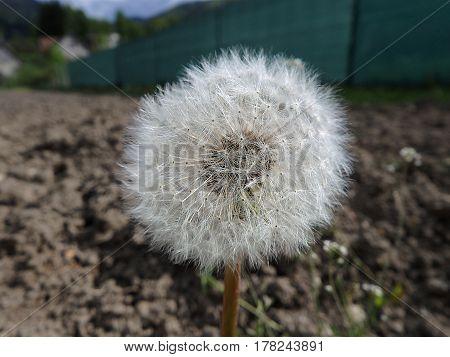 dandelion , Beautiful dandelion flower , flower ,